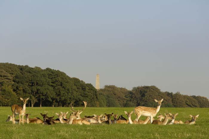 Deer in Phoenix Park